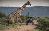 Mercedes-Maybach G650 Landaulet with a giraffe